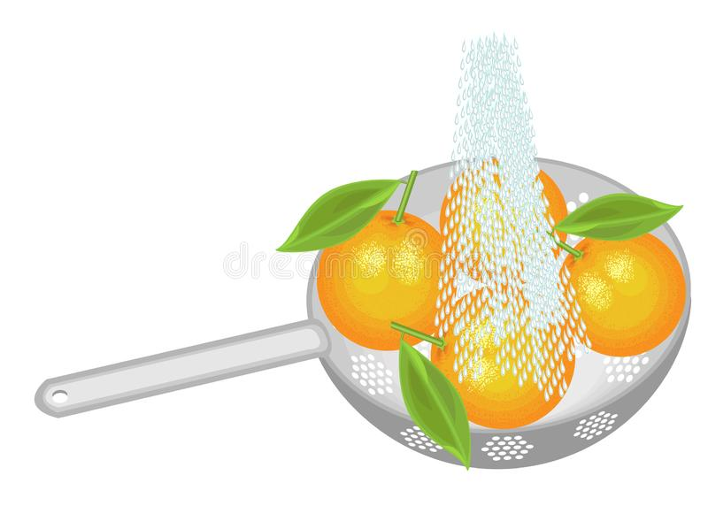 Fresh fruit is washed under running water. In a colander ripe oranges. Collected fruits should be eaten clean. Vector illustration.  vector illustration