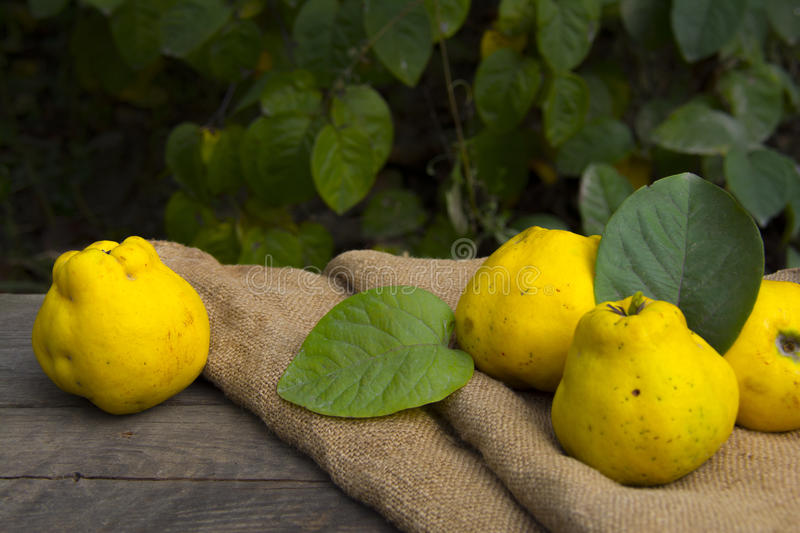 Quince. Fresh fruits, quince from garden, autumn harvest royalty free stock images