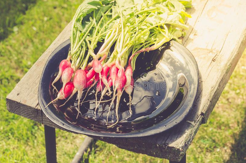 fresh garden radish in a garden/fresh radish in a black bowl in the open air. Top view royalty free stock image