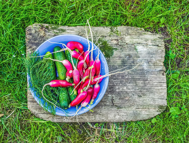 Fresh garden radish, cucumbers and dill in a blue ceramic plate royalty free stock photo
