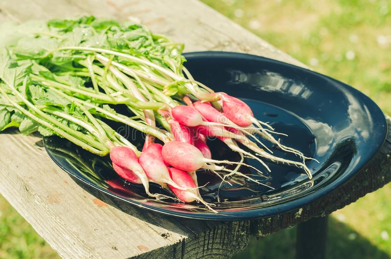 Fresh garden radish in a gardenfresh radish in a black bowl in the open air stock image