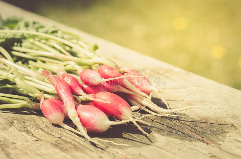 fresh garden radish on an old wooden background/fresh garden radish on sunlight royalty free stock photos