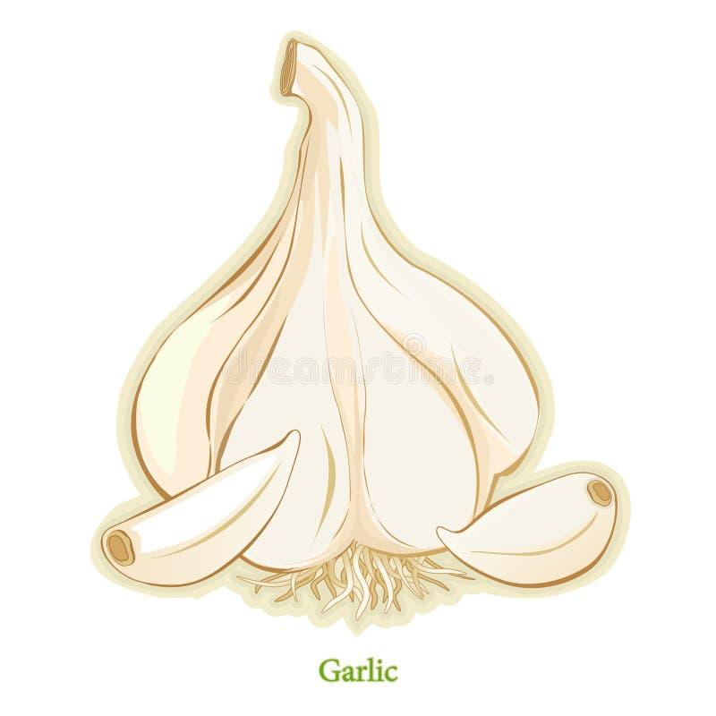 Free Fresh Garlic Bulb & Cloves Stock Images - 12232814