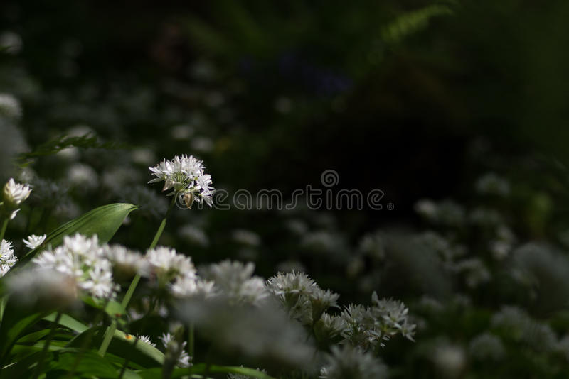 Garlic plant standing taller than the rest. New fresh life growing in the park caught in dappled sunlight coming through the trees royalty free stock photo