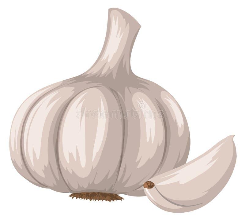 Fresh garlic on white background stock illustration