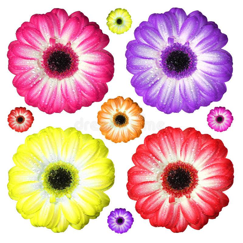Fresh gerbera flowers in various colors on white background royalty free stock photo
