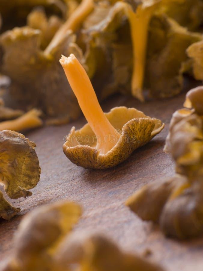 Download Fresh Girolle Mushrooms stock image. Image of tilt, fungi - 7229469