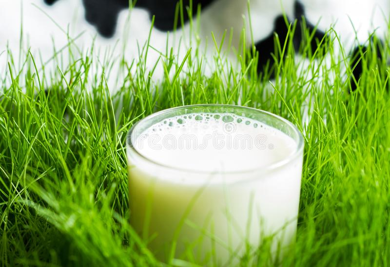 Fresh glass of milk in the spring green grass on the meadow with defocused cow on background. Closeup royalty free stock images