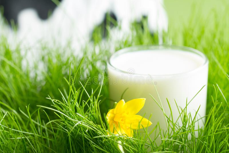 Fresh glass of milk in the spring green grass on the meadow with defocused cow on background stock photos
