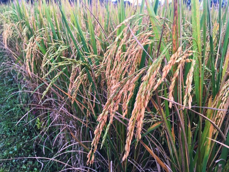 Fresh Golden paddy in rice field. The rice is growing up in farming and ready for harvest. Real nature of countryside in the evening stock images