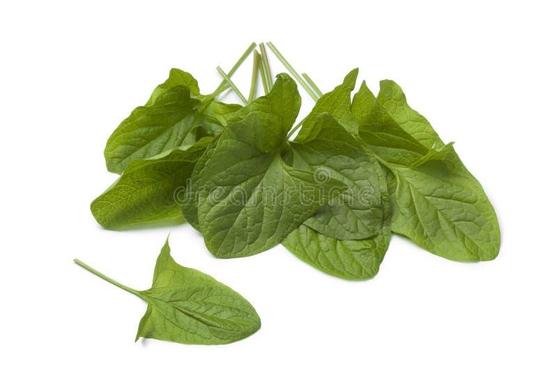 Fresh Good-King-Henry vegetable. Fresh green Good-King-Henry vegetable leaves on white background royalty free stock photography