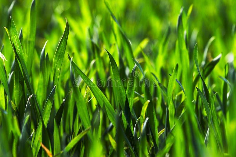 Fresh grain. Green field of fresh grain royalty free stock photos