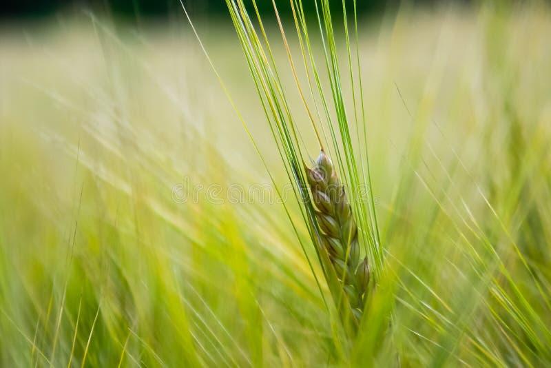 Download Fresh Grain stock image. Image of farmland, natural, grass - 27874609