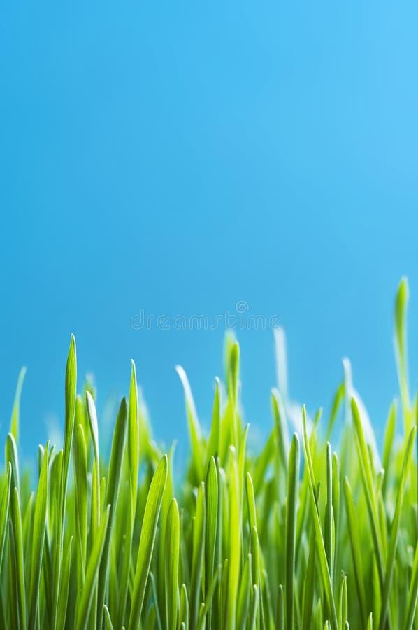 Fresh grain. On a blue background stock photo