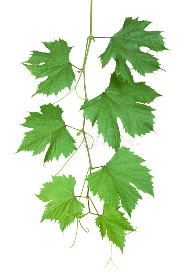 Grape Leaves Isolated on White Background royalty free stock photos