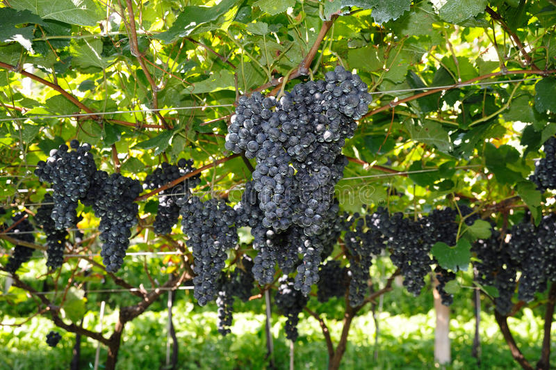 Fresh grapes. An image of bunches of blue grapes in the vineyard royalty free stock images