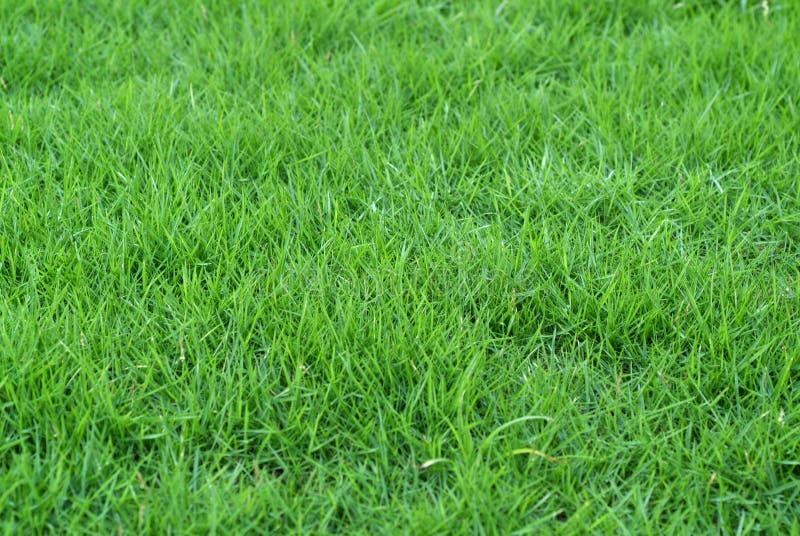 Fresh grass. Field of fresh green grass