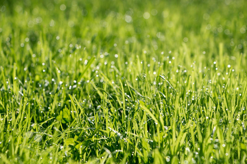 Fresh grass with dew drops. Background with green grass and drops royalty free stock photo