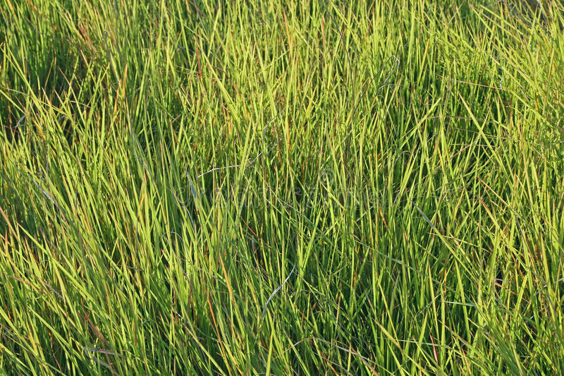 Fresh grass on a meadow. Background of fresh grass, shallow depth of field stock image