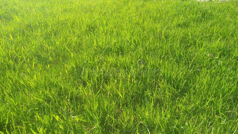 Fresh grass under the rays of the spring sun. background. Field of fresh green grass in park. Field of fresh green grass. Green grass in the sun, background stock photos