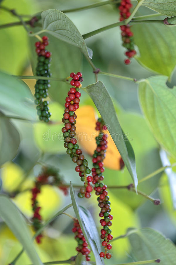 Free Fresh Green And Red Peppercorns With Leaf Royalty Free Stock Images - 86206279