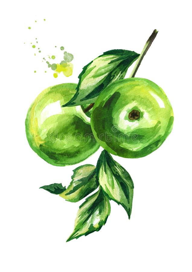 Fresh green apples branch. Hand drawn watercolor illustration, isolated on white background. stock illustration