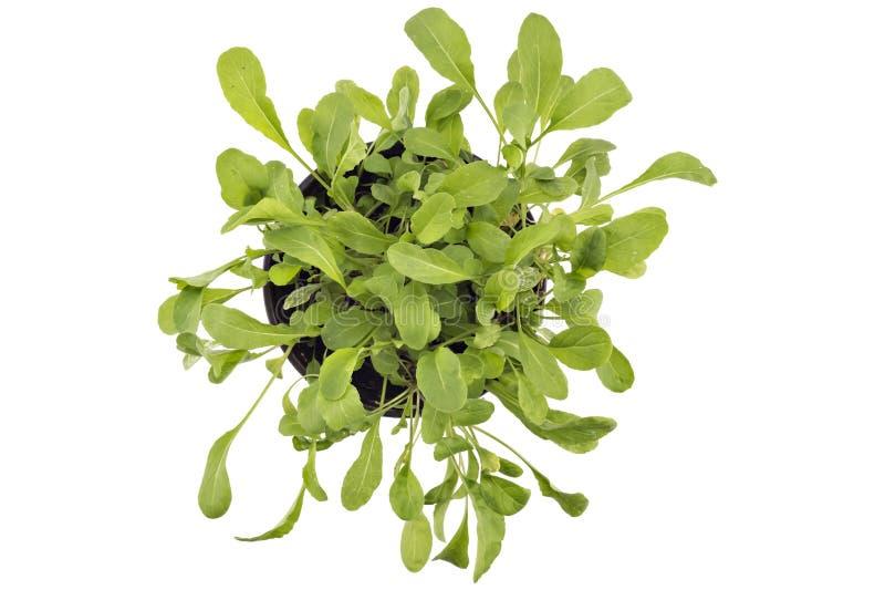 Fresh green arugula in a pot royalty free stock photos