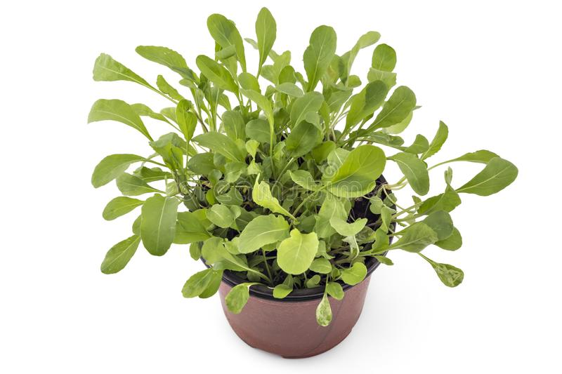 Fresh green arugula in a pot stock images