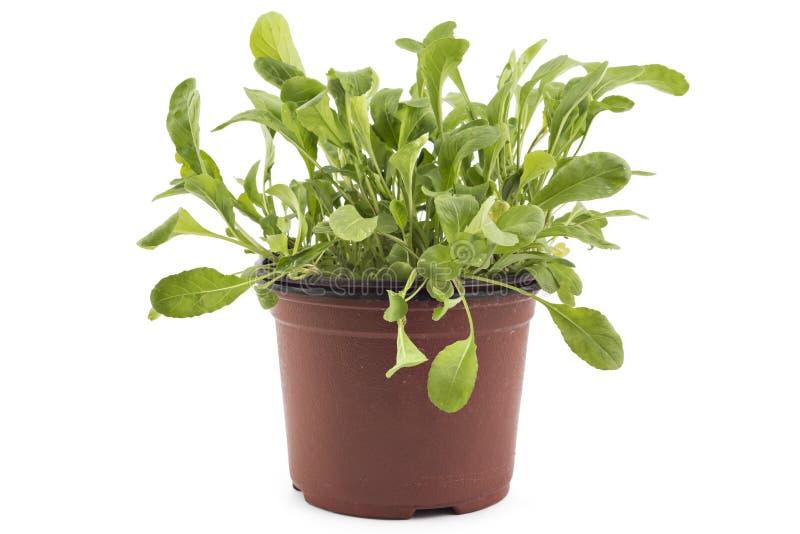Fresh green arugula in a pot stock image