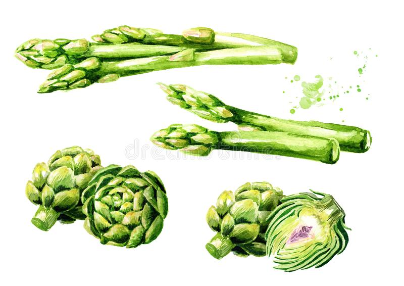 Fresh green asparagus and artichokes set. Watercolor hand drawn illustration, isolated on white background royalty free illustration