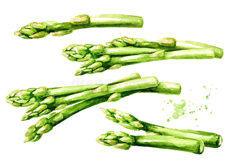 Fresh green asparagus set. Watercolor hand drawn illustration, isolated on white background royalty free illustration