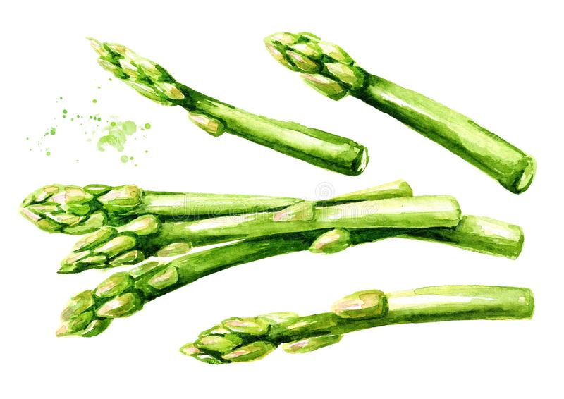 Fresh green asparagus set. Watercolor hand drawn illustration isolated on white background royalty free illustration