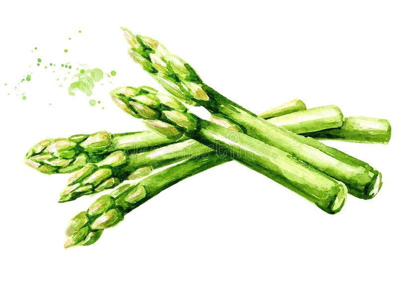 Fresh green asparagus, Watercolor hand drawn illustration, isolated on white background stock illustration