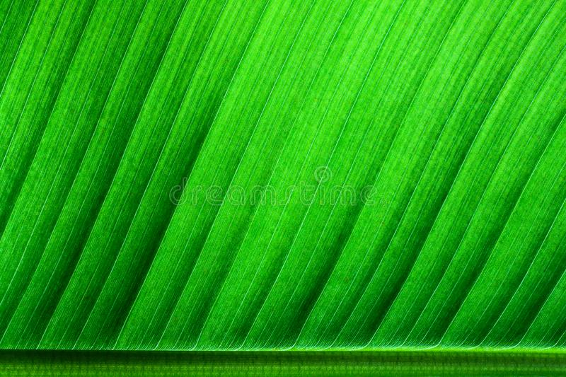 Fresh green banana leaf surface structure extreme macro closeup photo with midrib on the lower side of the frame royalty free stock photography