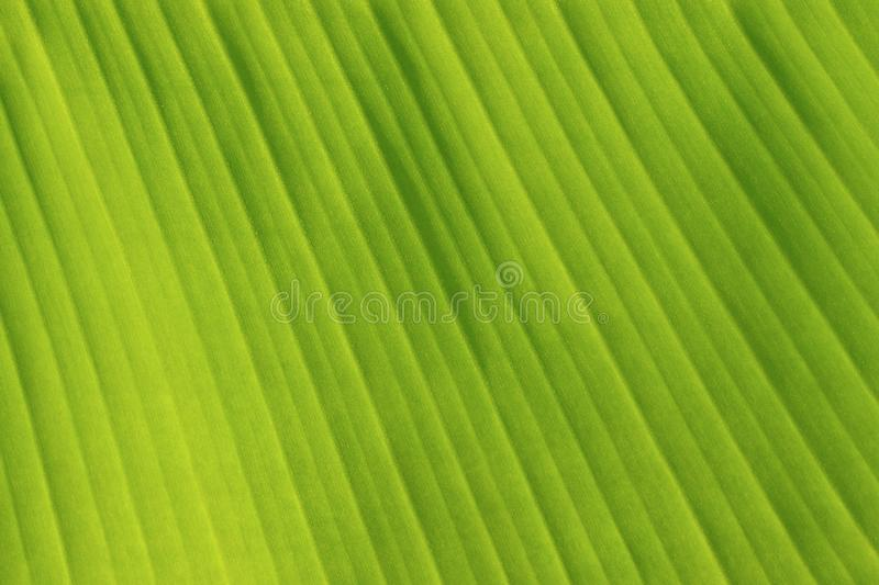 Fresh Green Banana Leaf Texture stock photos