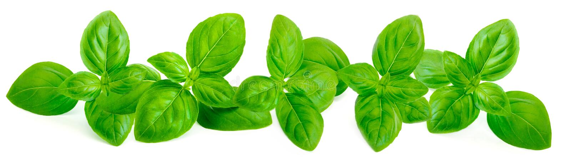 Fresh green basil leaves on white background. Border fr royalty free stock image