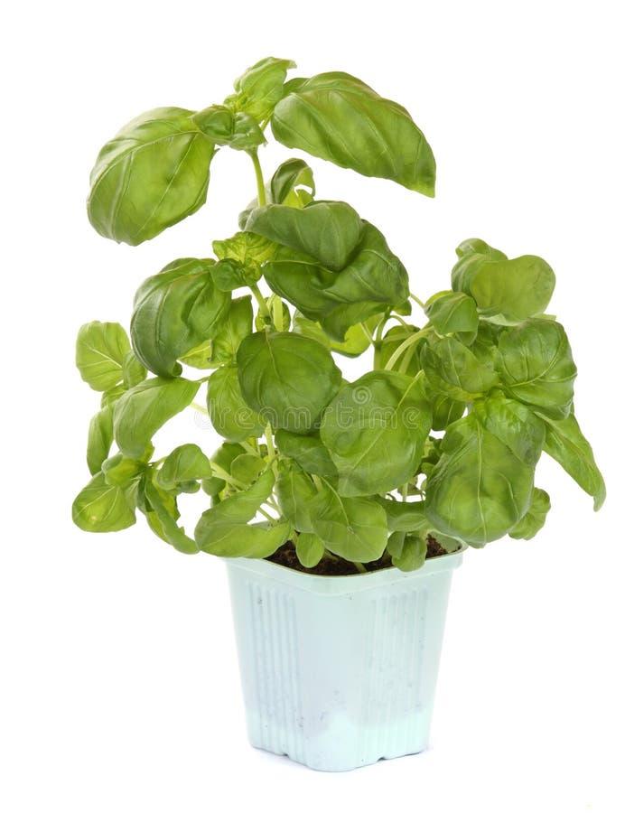 Fresh green basil plant royalty free stock image