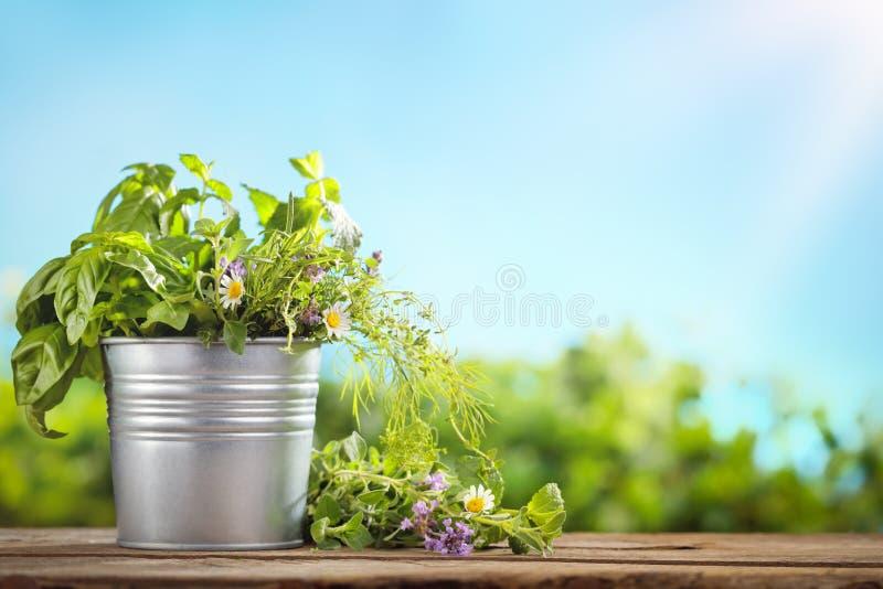 Fresh green basil in tin bucket stock image