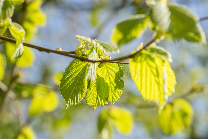 Fresh green beech leaves royalty free stock photo