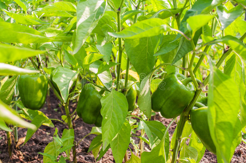 Fresh Green Bell Pepper Plant royalty free stock images