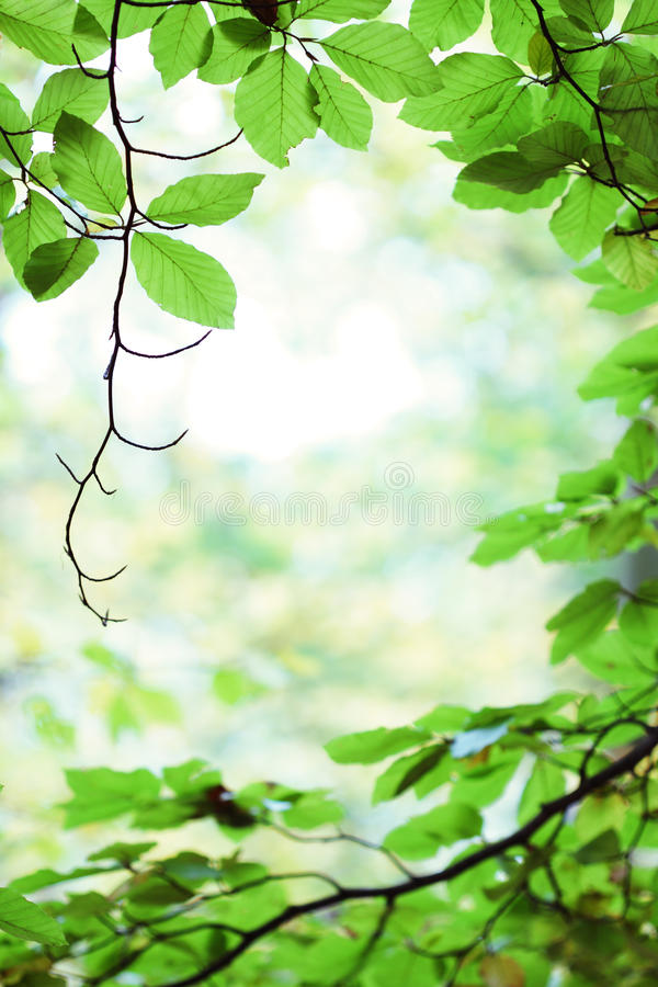 Fresh green birch tree leaves in springtime stock photo