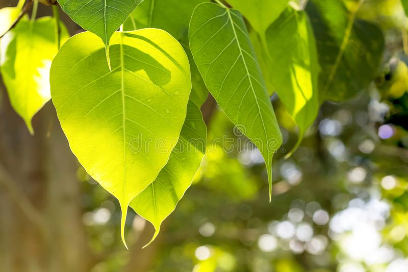 Fresh green bo leaf wiht sunshine. Fresh green bo leaves with sunshine in the morning royalty free stock image