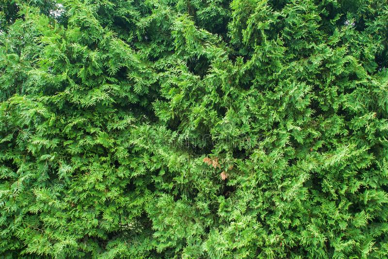 Fresh green branches of Cupressus tree stock photos