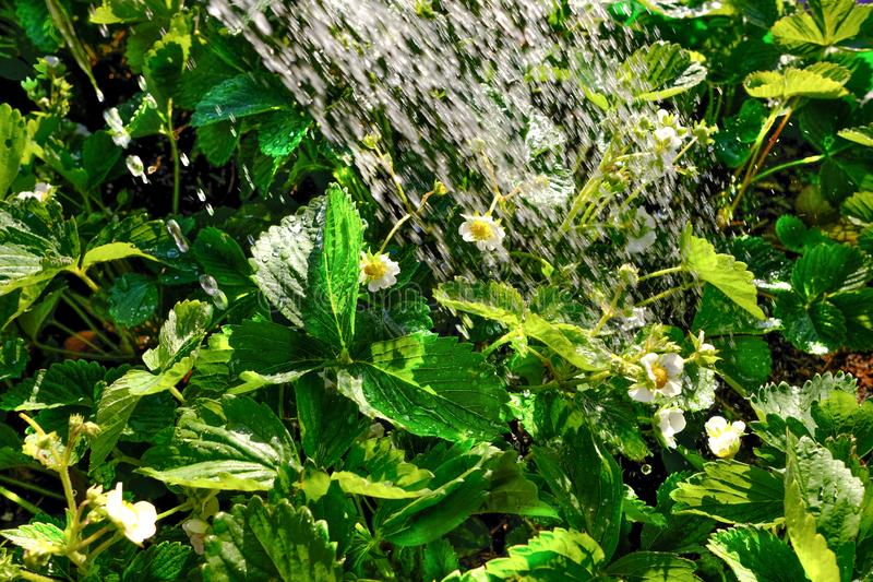Fresh green bright spring strawberry bushes with inflorescences under jets of water lit by the bright sun of the day. Abundant wat. Ering of plants during royalty free stock photos