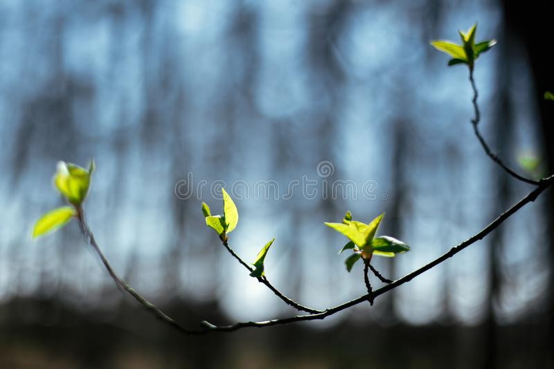 Fresh green buds of green leaves on blue sky in sunny spring woods. First leaves on tree branch in the forest. Springtime. Hello. Spring. Selective focus. Space stock photography