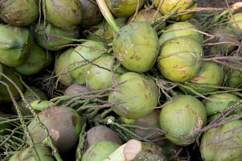 Fresh green bunch lot of young coconut stock photos