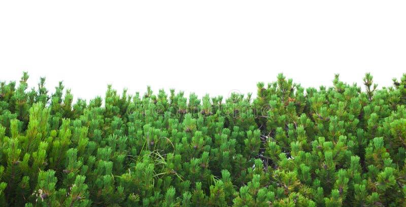Fresh green bush of pine trees stock photos