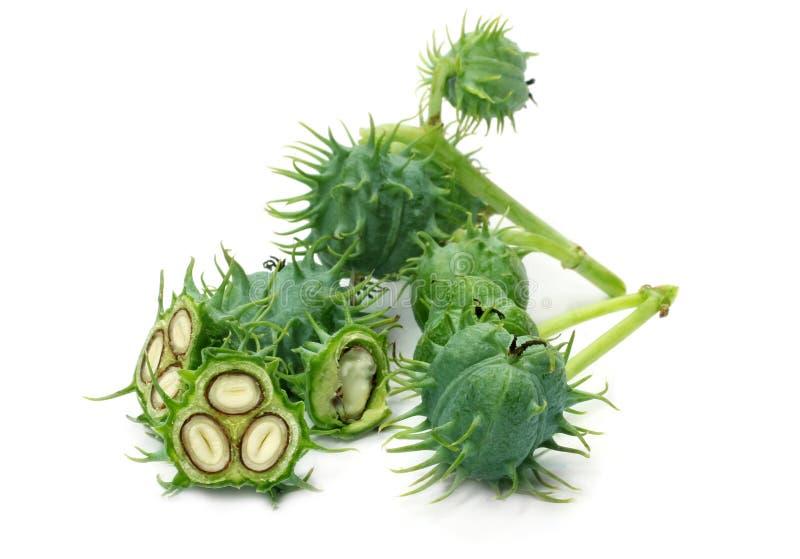 Fresh green castor beans stock image