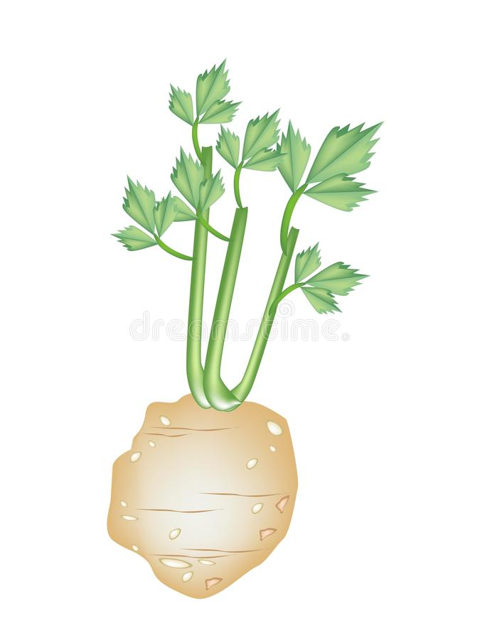 Fresh Green Celery Root on White Background. Vegetable and Herb, An Illustration Root of Celery with Leaves Used for Seasoning in Cooking stock illustration