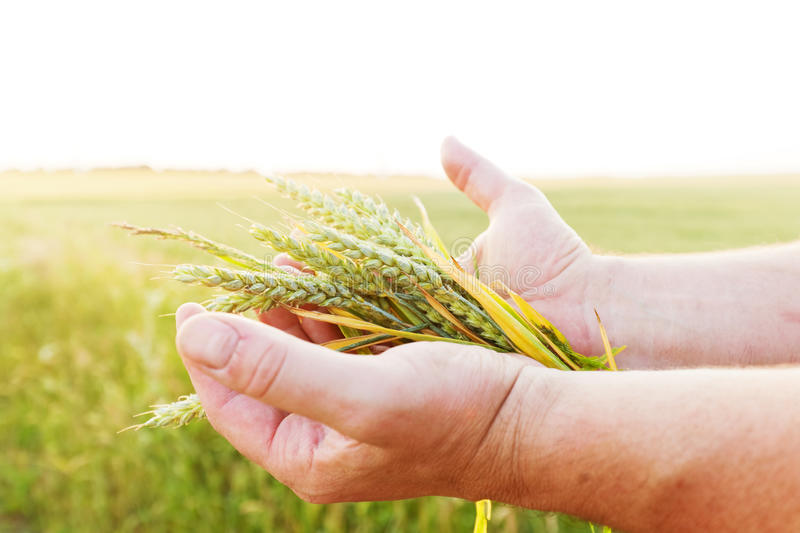Fresh green cereal, grain in farmer's hands. Agriculture, harvest. Concept. Wheat, rye field royalty free stock photography